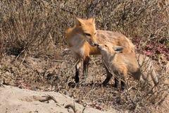 母亲狐狸招呼的成套工具 免版税库存照片