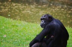 母亲猩猩眼睛 免版税库存照片