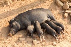 猪哺养的小猪 免版税库存图片