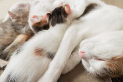 母亲猫和小猫 库存照片