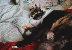 母亲猫和小猫 免版税库存图片