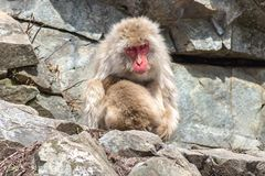 母亲猴子喂养婴孩,长野日本 库存图片