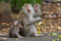 母亲猴子在密林吃与他的孩子的红薯坐地面 库存图片