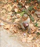 母亲猴子-帽子短尾猿-印地安猴子-喂养她的婴孩-爱和关心在动物中 库存照片