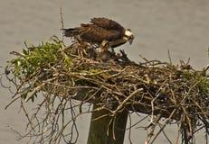 母亲白鹭的羽毛喂养她婴孩小鸡,英里河  库存图片