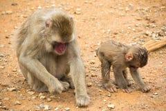 母亲短尾猿和她的小猴子 免版税库存图片