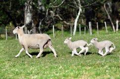 母亲绵羊和她的二只新出生的羊羔 免版税库存照片