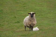 母亲绵羊和小羊羔 图库摄影