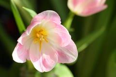 母亲节或复活节郁金香卡片材料的照片 库存图片