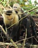 母亲连斗帽女大衣猴子和婴孩,哥斯达黎加 免版税库存照片