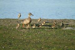 母亲野鸭鸭子和婴孩 库存图片