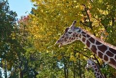 母亲长颈鹿 免版税库存照片