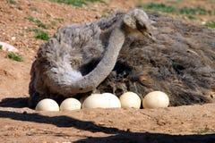 母亲驼鸟 免版税图库摄影