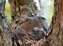 母亲鸠和小鸡在树 免版税库存图片