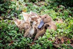母亲鸭子和两只鸭子 免版税库存照片