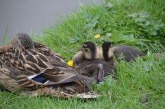 母亲鸭子和兄弟姐妹 库存照片