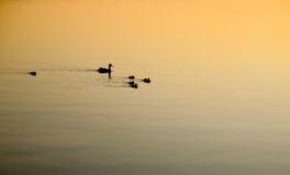 母亲鸭子和家庭在清早游泳 免版税图库摄影