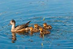 母亲鸭子和鸭子 库存图片