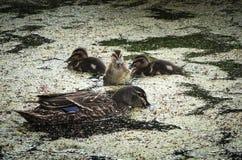 母亲鸭子和鸭子 免版税图库摄影