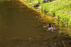 母亲鸭子和鸭子 免版税库存照片