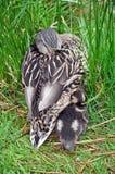 母亲鸭子和婴孩 库存图片