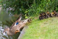 母亲鸭子在水中诱使小鸡 库存图片