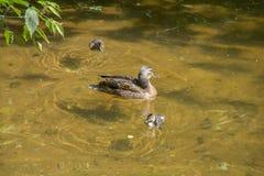 母亲鸭子用两只鸭子在浅清楚的水中游泳在树枝下 库存图片