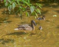 母亲鸭子用两只鸭子在浅清楚的水中游泳并且潜水在树枝下 图库摄影
