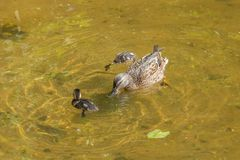 母亲鸭子用两只鸭子在浅清楚的水中游泳并且潜水 免版税库存照片