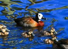 母亲鸭子用鸭子 免版税图库摄影