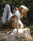 母亲鹈鹕盘旋在年轻小鸡 库存图片