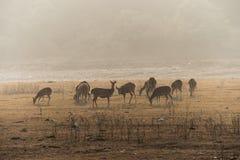 母亲麋在刷子的牧群与被察觉的新出生的小鹿的和小牛调遣 免版税库存照片