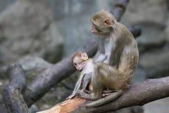 母亲猴子和小猴子的图象 免版税库存照片