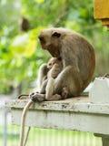 母亲猴子和小猴子 免版税库存图片