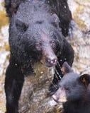 母亲黑熊和崽(腼腆) 免版税库存图片