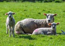 母亲绵羊丝毫她的两只羊羔 库存图片
