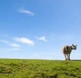 母亲绵羊叫喊的春天图象 库存图片