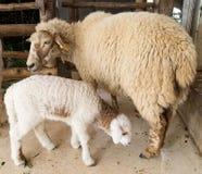 母亲绵羊和她的小羊羔 库存照片