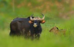 母亲gaur和婴孩 免版税库存照片