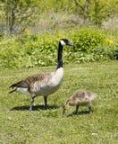 母亲Goose2 库存照片