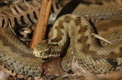母加法器蛇& x28; 蝰蛇属berus& x29;在冬眠外面 免版税库存照片
