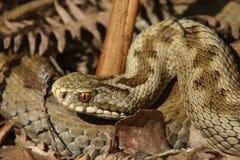 母加法器蛇& x28; 蝰蛇属berus& x29;在冬眠外面 免版税库存图片