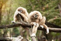 母北白的Cheeked长臂猿- Nomascus leucogenys 库存图片