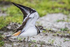 母双胸斑沙鸟鸟 免版税库存图片