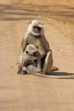 母叶猴和崽 库存图片
