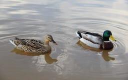 母和公野鸭 免版税库存照片