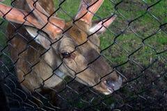 母和公鹿吃 库存照片