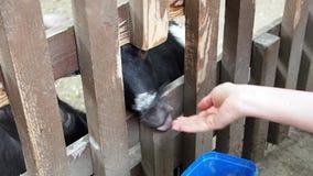 母哺养的calfs和山羊低谷篱芭,农场 影视素材
