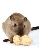母啮齿目动物用在白色的落花生花生 免版税图库摄影