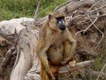 母大草原狒狒 图库摄影